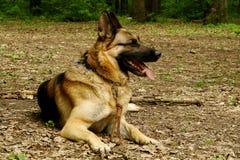 German shepherd. Adult german shepherd lies on the ground Stock Photo