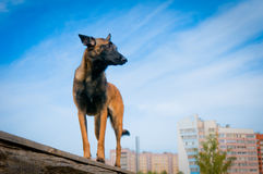 German Shepherd against the blue sky. Royalty Free Stock Image