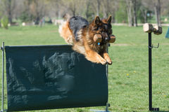 German Shepherd on agility competition, over the bar jump. Proud dog jumping over obstacle. Selective focus on the dog Royalty Free Stock Photography