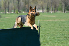 German Shepherd on agility competition, over the bar jump. Stock Photo