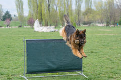 German Shepherd on agility competition, over the bar jump. Royalty Free Stock Image