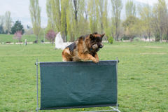 German Shepherd on agility competition, over the bar jump. Royalty Free Stock Images