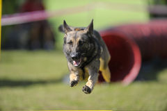 German Shepherd on agility competition Royalty Free Stock Photo