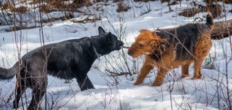 Doggy Argument - Who`s Stick Is It?. A German Shepherd and an Airdale Terrier are having an argument over a found stick royalty free stock photos