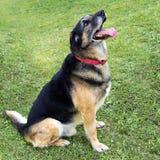 German shepherd, Alsation cross dog in garden, playful. Waiting to romp. Adult dog stock image