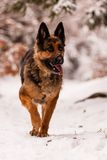 German Shepherd Ambra Stock Image