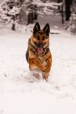 German Shepherd Ambra Royalty Free Stock Photos