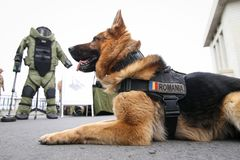 German shepherd army dog trained to detect explosives. Together with his trainer from the Romanian military stock photos