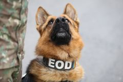 German shepherd army dog trained to detect explosives. Together with his trainer from the Romanian military royalty free stock image