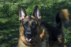 German shepherd. As a part of nature Stock Images