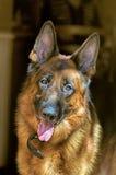 German shepherd. As a part of nature Royalty Free Stock Photos