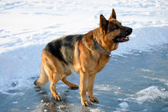 German shepherd in attention Royalty Free Stock Images
