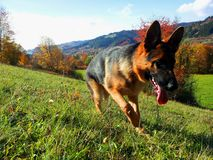 German Shepherd in the autumn Stock Image