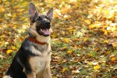 German Shepherd in the autumnal park. royalty free stock photos