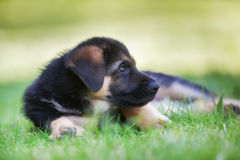 German shepherd baby Stock Image