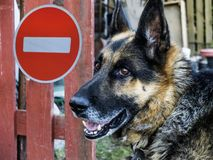 German shepherd on the background of the sign no entry. royalty free stock photography