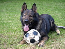 German shepherd with a ball. Stock Photography