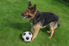 German shepherd with a ball. German shepherd playing football (soccer Stock Images