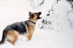 German Shepherd barking in winter, copy space. German Shepherd barking and standing on snow Stock Images