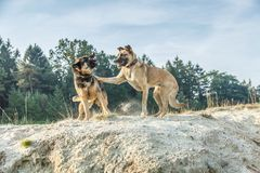 A German Shepherd and a Belgian Shepherd play a rough game in the sand. Rough-playing dogs in a sand quarry with bared teeth and splashing grains of sand royalty free stock photos