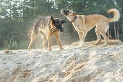 A German Shepherd and a Belgian Shepherd play a rough game in the sand. Rough-playing dogs in a sand quarry with bared teeth and splashing grains of sand stock photography