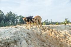 A German Shepherd and a Belgian Shepherd play a rough game in the sand. Rough-playing dogs in a sand quarry with bared teeth and splashing grains of sand royalty free stock photography