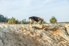 A German Shepherd and a Belgian Shepherd play a rough game in the sand. Rough-playing dogs in a sand quarry with bared teeth and splashing grains of sand stock photo