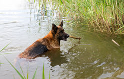 The German shepherd Royalty Free Stock Image