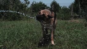 German shepherd bathes under a hose with clean cold water