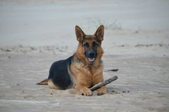German Shepherd Stock Photography