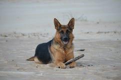 German Shepherd. On the beach Stock Photography