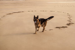 German Shepherd on the beach II Royalty Free Stock Photo