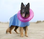 German shepherd on the beach Stock Image