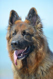 German shepherd on a beach Royalty Free Stock Images