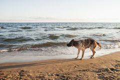 German Shepherd on the beach Royalty Free Stock Photography