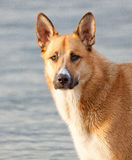 German Shepherd. This beautiful dog was seen at a beach in Vancouver, BC Royalty Free Stock Photo