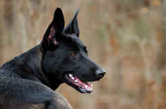 German Shepherd Belgian Malinois mixed breed Profile. Black German Shepherd Dog Belgian Malinois mixed breed, outdoor pet adoption photography, humane society Royalty Free Stock Photo