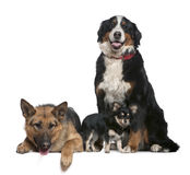 German shepherd, Bernese mountain dog, Chihuahua. German shepherd dog, Bernese mountain dog and Chihuahua, 14 months, 4 years and  9 months old, in front of Royalty Free Stock Images