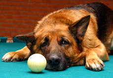 German shepherd with billiard ball. German shepherd with billiard  ball Stock Photography