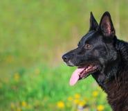German Shepherd. Royalty Free Stock Images