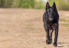 German Shepherd. Stock Image