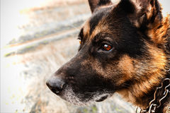 German Shepherd. On a blurred background field Royalty Free Stock Photos