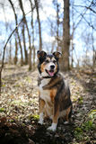 German Shepherd Border Collie Mix Breed Dog sitting in Forest Royalty Free Stock Image