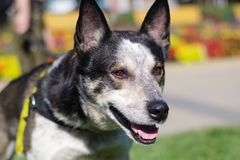German Shepherd Border Collie Mix Focused at Object Off Camera royalty free stock photos
