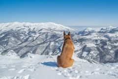 german shepherd dog and boxer enjoying the snowy landscape stock image