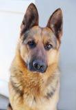 German Shepherd. Brown, close up Stock Image