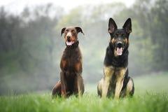 German shepherd and brown doberman pinscher Stock Photo