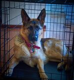 German shepherd in cage
