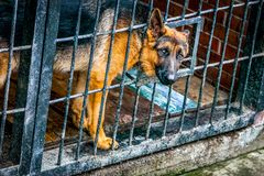 German shepherd in a cage - military dog royalty free stock photo