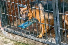 German shepherd in a cage - military dog Royalty Free Stock Images